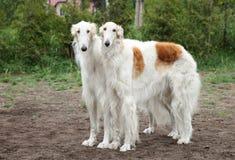 Borzoi hounds Stock Image