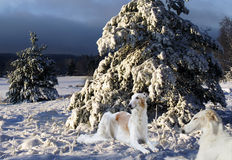 Borzoi hounds in a sunny winter scenery Royalty Free Stock Photo