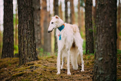 Borzoi, Hunting dog in Spring Summer Forest. These Royalty Free Stock Photography