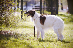 Borzoi. Stock Photo