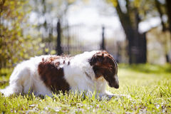 The borzoi lies on a grass. Stock Images