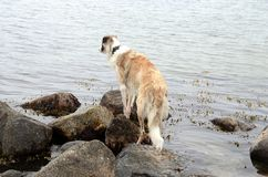 Borzoi looking out over the sea Royalty Free Stock Photography