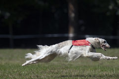 Borzoi lure coursing. At full speed. France Stock Photos