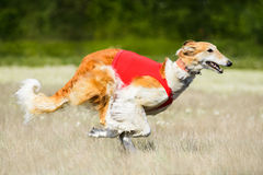 The Borzoi lure coursing competition. Russian wolfhounds lure coursing competition at the field Stock Image