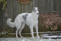 Borzoi playing in the snow. Borzoi also known as russian wolfhounds love cold weather and snow Stock Photo