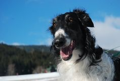 Borzoi portrait. Portrait of russian borzoi in winter Stock Photos