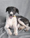 Borzoi puppy eat Royalty Free Stock Photos