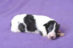 Borzoi puppy sleeping Stock Image
