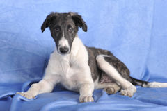 Borzoi puppy is surprised Royalty Free Stock Photography