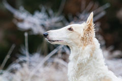 Borzoi. Purebreed Borzoi portrait in winter Royalty Free Stock Images