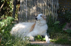 Borzoi. At rest in a shady garden Stock Image