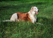 Borzoi resting. Borzoi dog resting in the grass Stock Photo