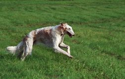 Borzoi running. In the field Royalty Free Stock Photo