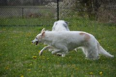 Borzoi running in the park. Borzoi also known as russian wolfhounds love to run Stock Images