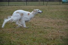 Borzoi running in the park. Borzoi also known as russian wolfhounds love to run Royalty Free Stock Images
