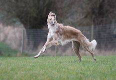 Dog is playing a borzoi. Borzoi is running and playing and she love it Stock Photos