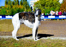 Borzoi Russian dog. Stock Photos