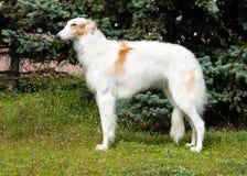 Borzoi Russian Profile. Royalty Free Stock Photos