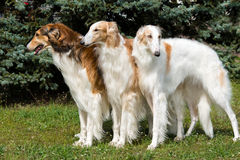 Borzoi Russian triad. The Borzoi Russian dog is on the green grass Royalty Free Stock Photography
