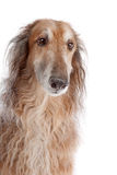Borzoi or Russian Wolfhound. In front of a white background Royalty Free Stock Photography
