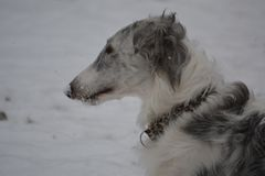 Borzoi Russian Wolfhound Dog. 9 month old borzoi in the snow. Photo taken in 2017 Stock Photography