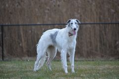 Borzoi Russian Wolfhound Dog. 9 month old borzoi in the snow. Photo taken in 2017 Stock Image