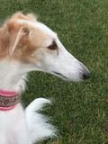 Borzoi russian wolfhound puppy female. Borzoi are sighthounds meaning they hunt by sight Stock Image