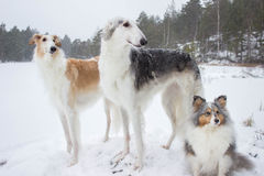 Borzoi & Shetland sheepdog in snowfall royalty free stock images