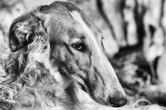 Borzoi sight-hound portrait. Russian breed and in black and white Royalty Free Stock Image