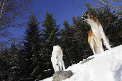 Borzoi sighthounds in winter landscape Royalty Free Stock Photo