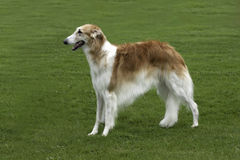 Borzoi standing in field. Elegant hound - a Borzoi, standing alone in a grassy meadow Stock Images