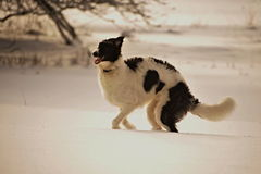 Borzoi in the winter Royalty Free Stock Photography