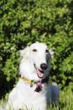 Borzoihund på midsummerfestivities Arkivfoton