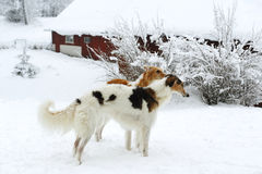 Borzois, Russian sight-hounds in snowy winter Royalty Free Stock Images