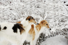 Borzois, Russian sight-hounds in snowy winter Stock Photography