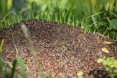 Bosättning av myror Fotografering för Bildbyråer
