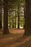 Bos 01 van de Californische sequoia Stock Afbeelding