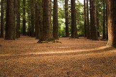 Bos 03 van de Californische sequoia Stock Afbeelding