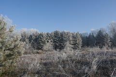 Bos 2 van de pijnboom Royalty-vrije Stock Foto