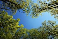 Bos bomen in de lente lichte en blauwe hemel stock foto's