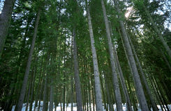 Bos bomen in de winter stock afbeelding