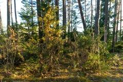 bos Bomen door de avondzon die worden verlicht Tegen de achtergrond van het bos royalty-vrije stock foto's