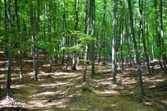 Bos bomen Groene houten het zonlichtachtergronden van de aard Stock Fotografie