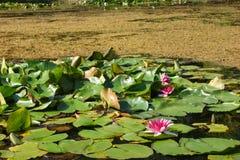bos de aard groen roze van het waterleliemeer stock foto