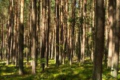Bos in de de zomerzon Royalty-vrije Stock Fotografie