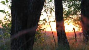 Bos in de gouden-rode zonsondergang stock videobeelden