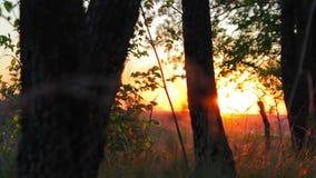 Bos in de gouden-rode zonsondergang in de zomer of de lente stock video