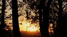Bos in de gouden-rode zonsondergang in de zomer Silhouet van bosbomen bij zonsondergang stock video