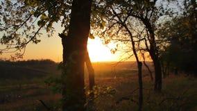 Bos in de gouden zonsondergang stock videobeelden