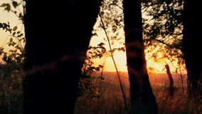 Bos in de gouden zonsondergang stock footage